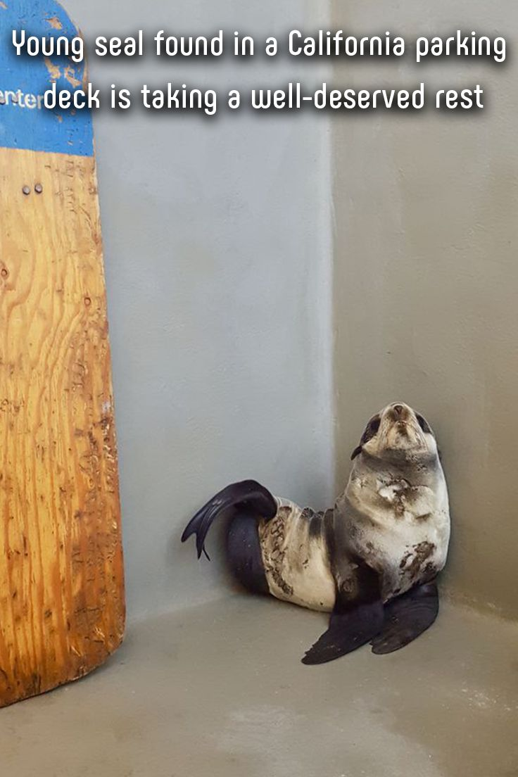 Firefighters in Redwood City, California, got a call about a lost visitor in a parking deck. It was a northern fur seal baby without a mother — a true fish out of water. #seal #conservation #science #california #animals