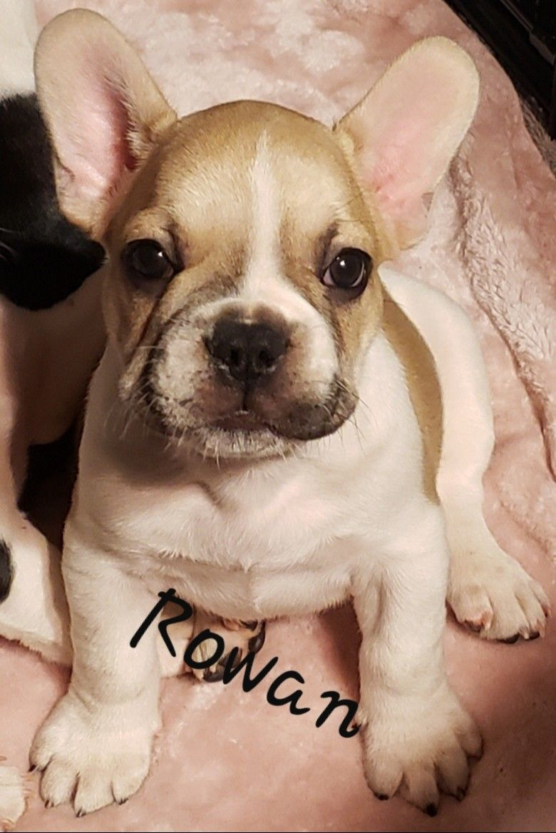 Breed French Bulldog Gender Male Registry Non Registrable