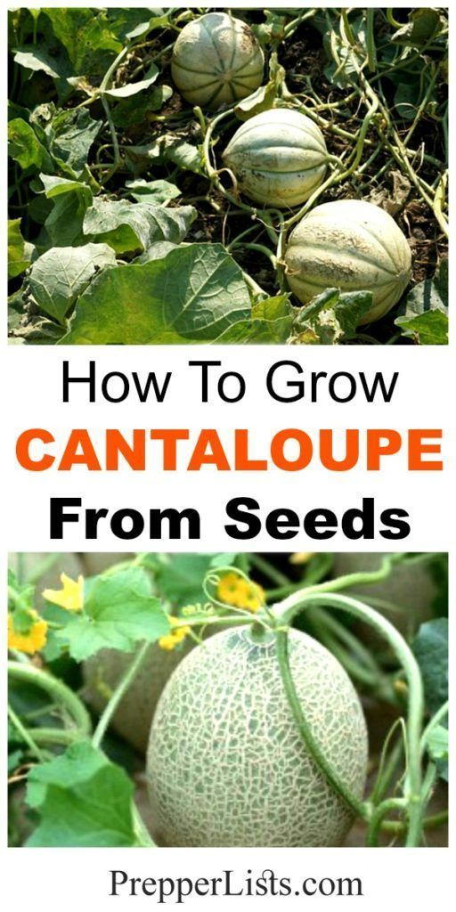 How to Grow Cantaloupe from Seeds Harvest