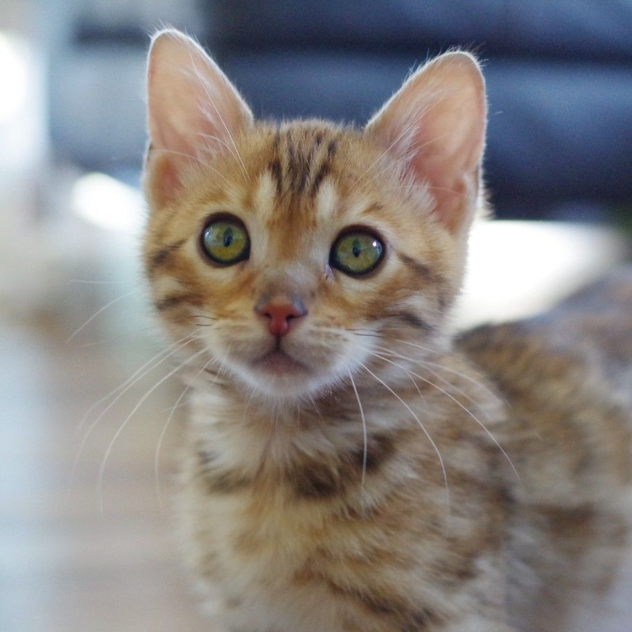 Snow Bengal Kittens For Sale In Ohio