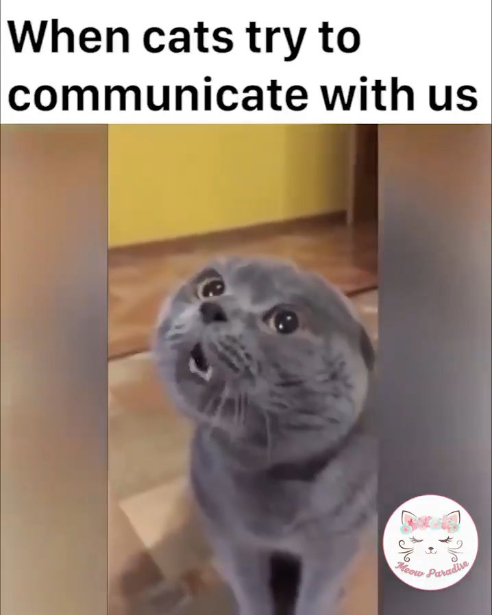 """When cats try to communicate with us. Follow """"Animals Board"""" for more videos."""
