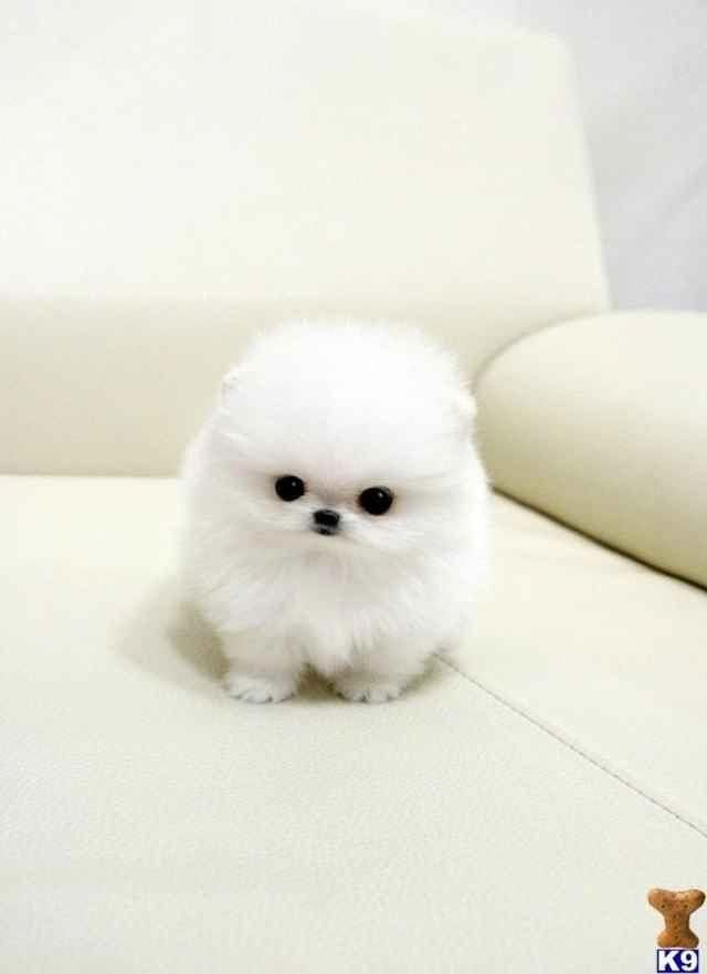 All About Cute Pomeranian Puppy Grooming #pomeraniansg #pomeranianofig #pomeranianpuppy