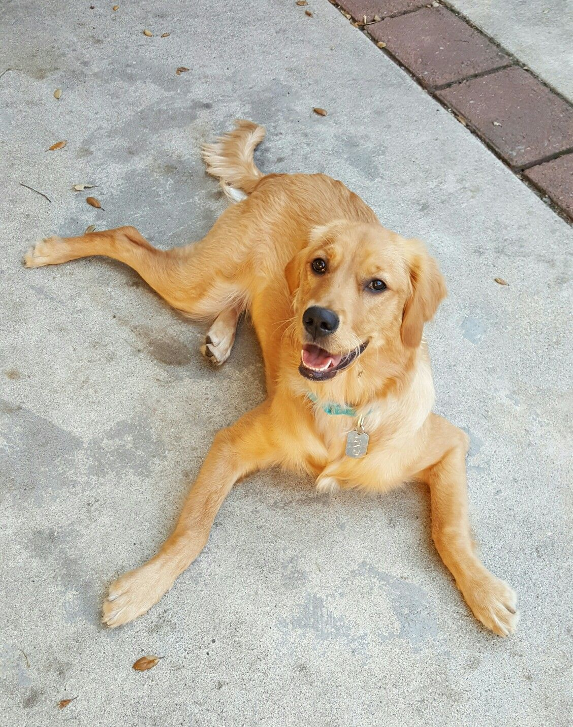 Coco Golden Retriever 8 Months Old Golden Retriever Beautiful