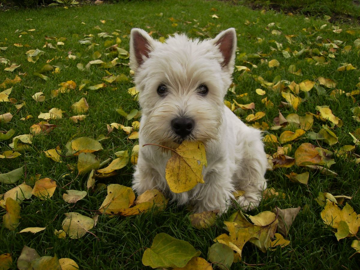 West Highland White Terrier, Westies Puppies for sale in Northwest Territories Canada