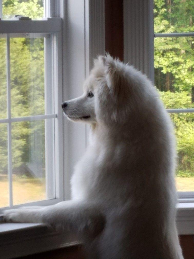 Wooly Siberian Husky Koda Just Watching The Neighbors Wooly