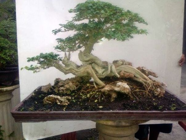 Gallery For Rainbow Eucalyptus Bonsai Rainbow Eucalyptus Bonsai Diy Plants