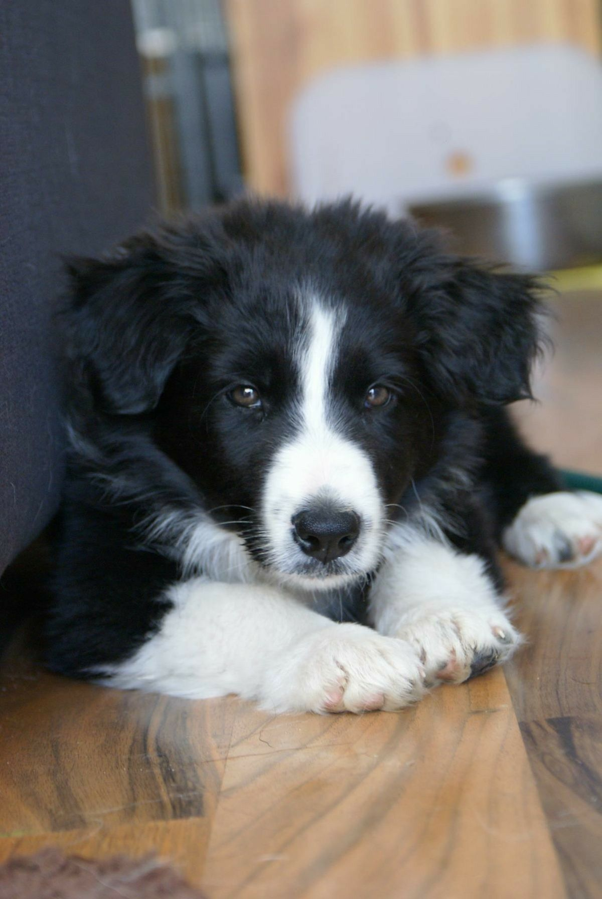 Border Collie Border Collies Sheep Dog Puppy Collie Shetland