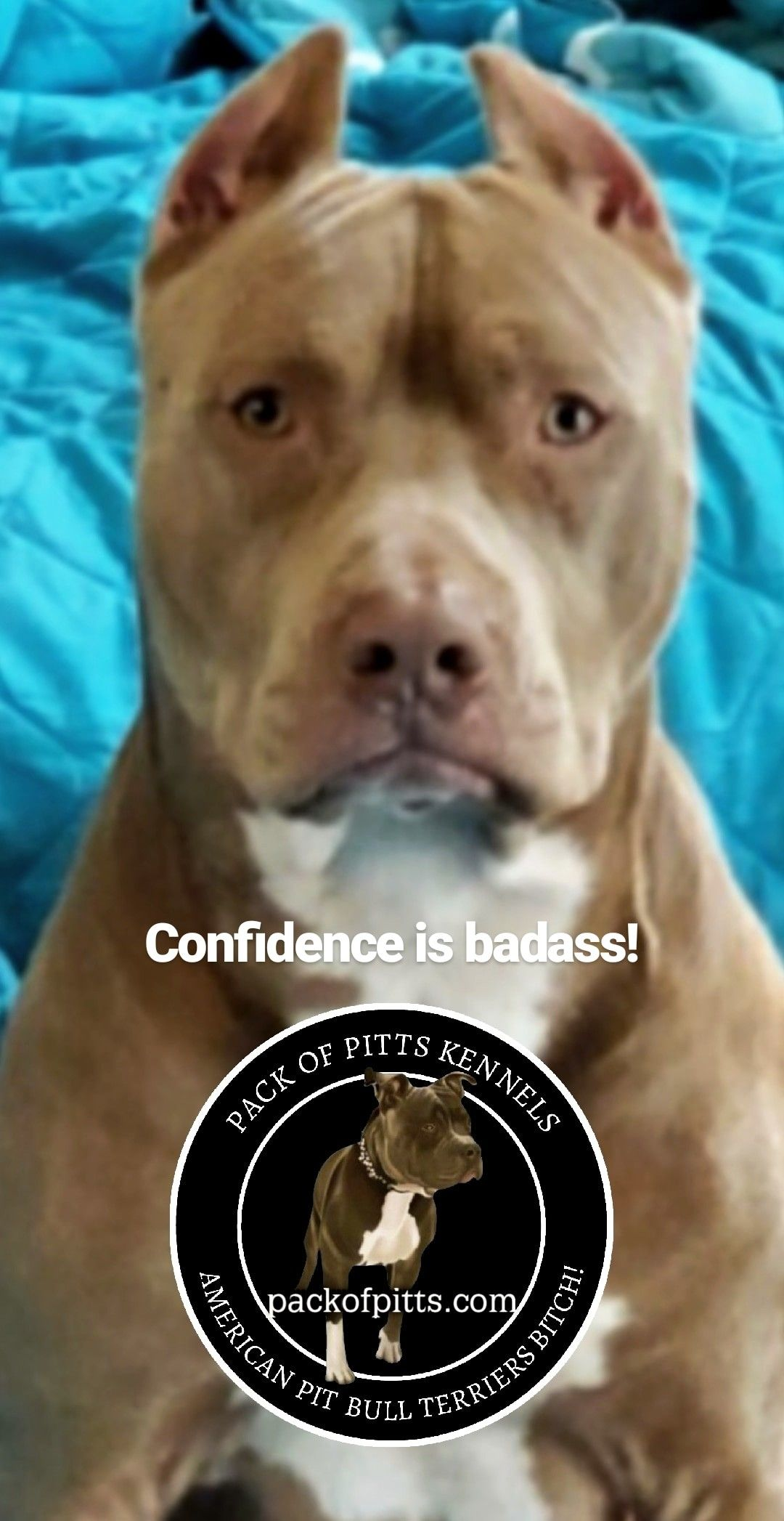 Pack S Cujo Confidence Is Badas Pack Of Pitts Kennels Buffalo