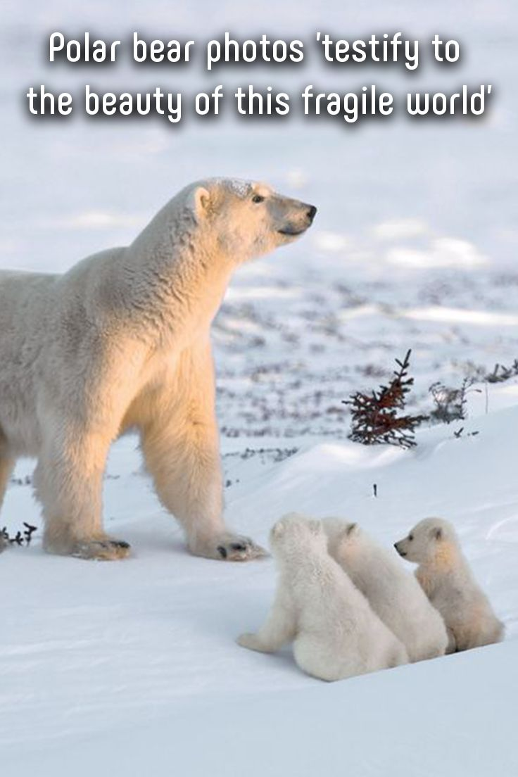 Nature and wildlife photographer Michel Rawicki grew up in Paris, but he has always been attracted to icy landscapes. #photography #polarbears #world #beauty