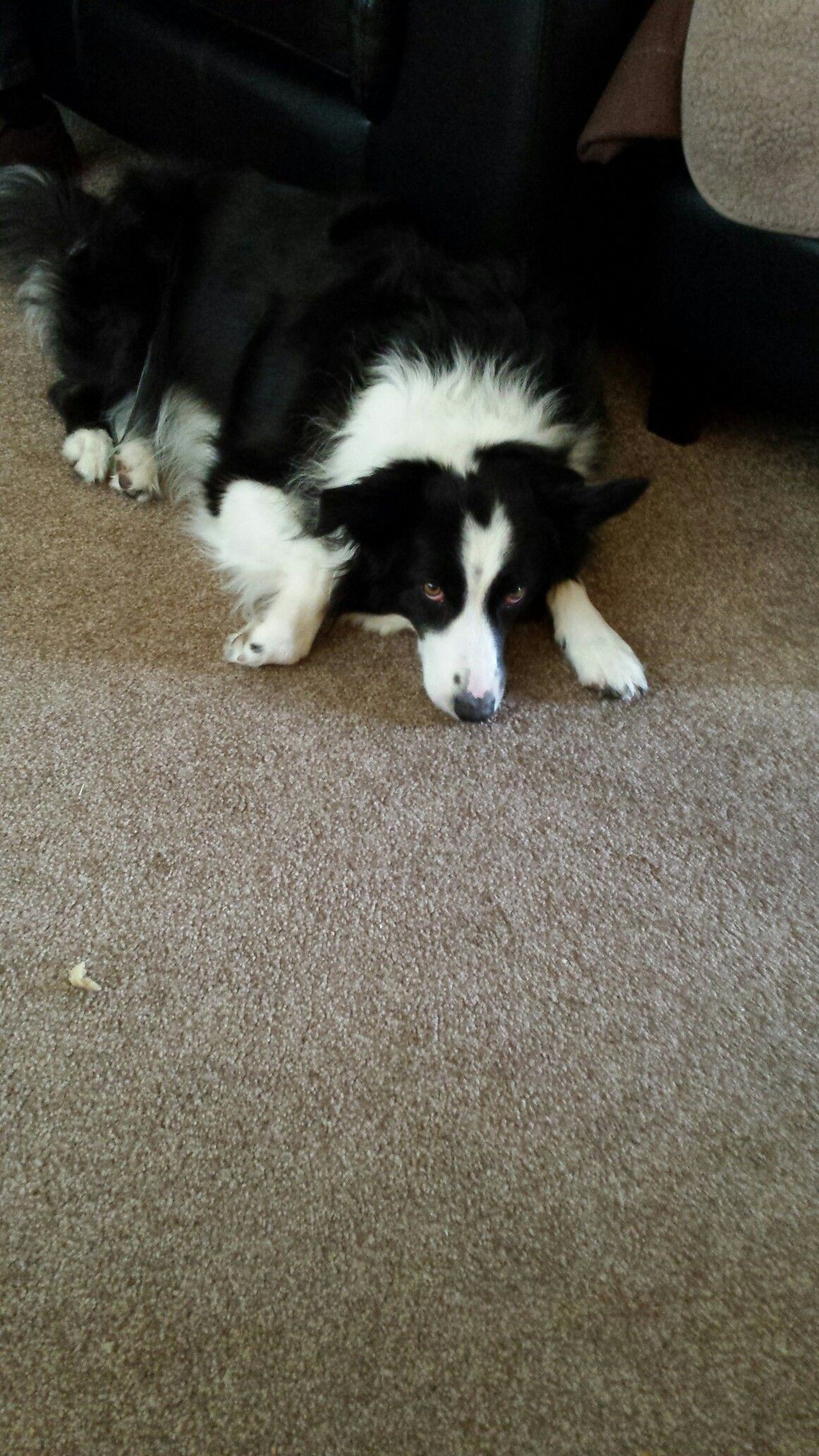 Sorry.... Border collie, Collie, Puppies