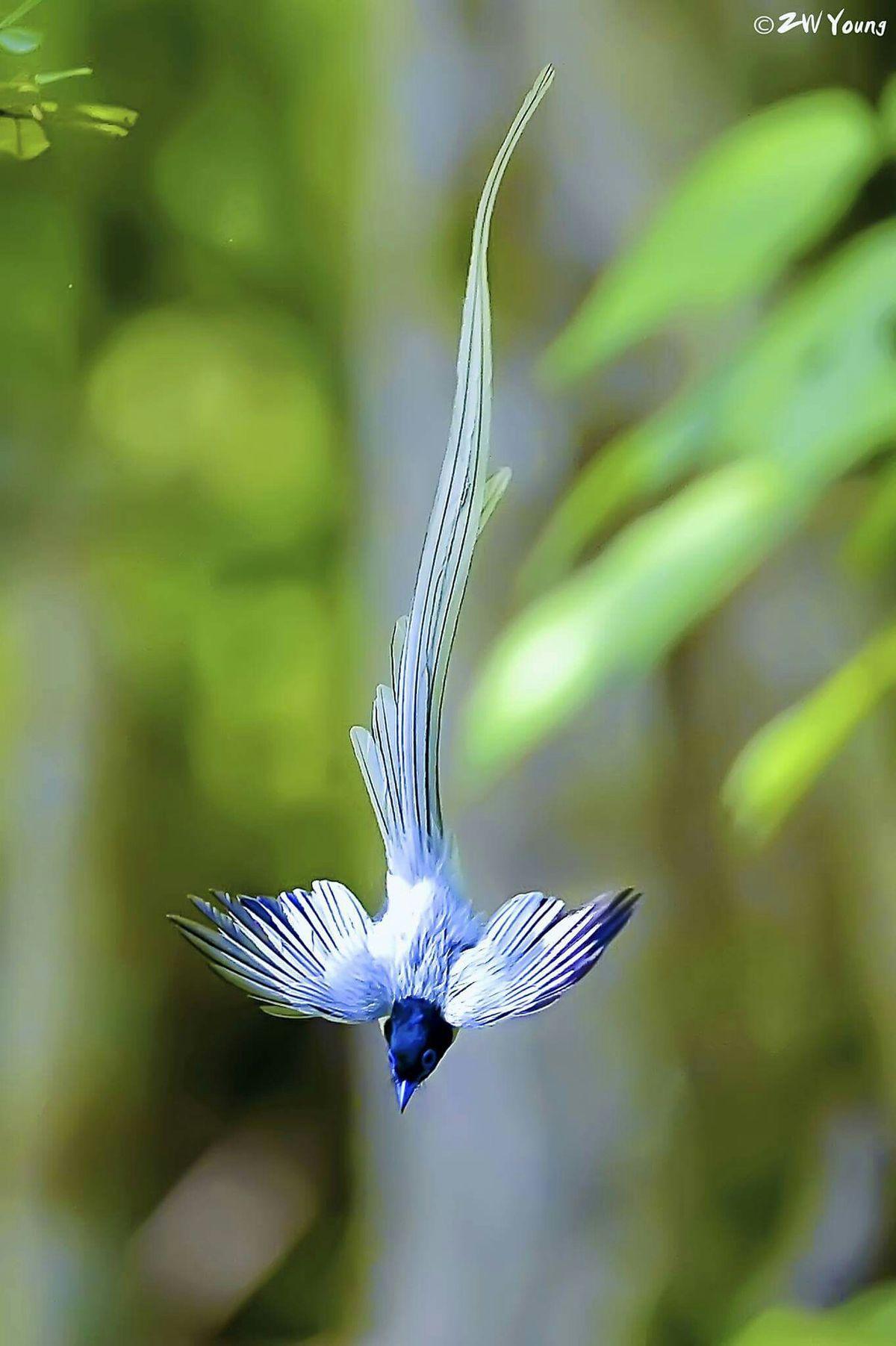 Asian Paradise Flycatcher (male, white morph) is a medium