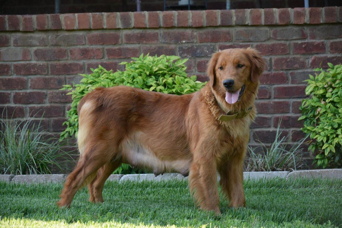 Rosalie Golden retriever, Dogs, Puppies