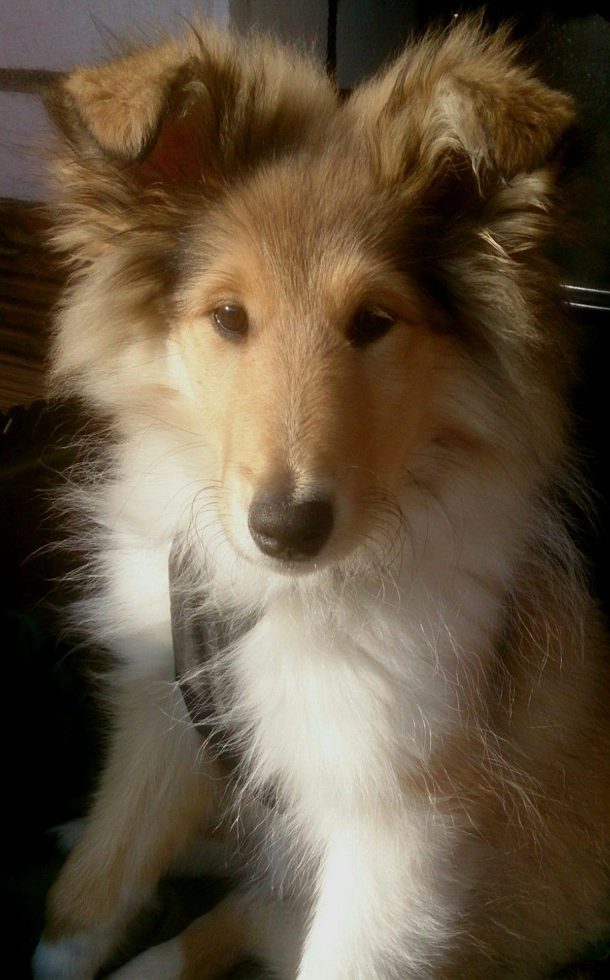 Pin on Rough Collie and Sheltie Puppies