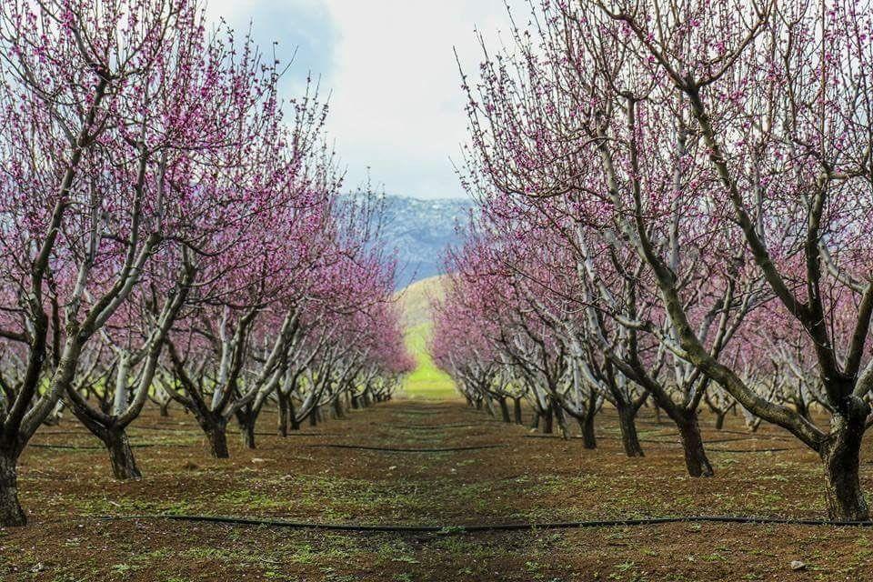 Looks Like The Cherry Blossom Trees Of Japan But These Are In Algeria Cherry Blossom Tree Tree Blossom Trees