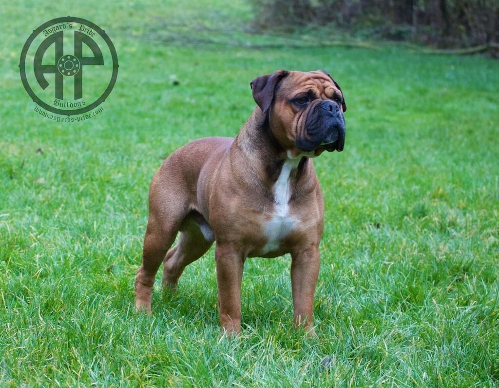 Continental Bulldog Continental Bulldog Bulldogge Und Hunde