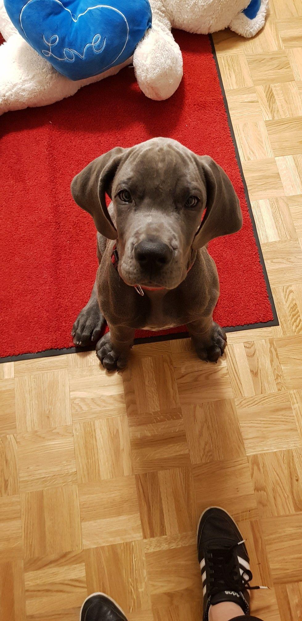 Great Dane Puppy Blue Silver Great Dane Puppy Dane Puppies