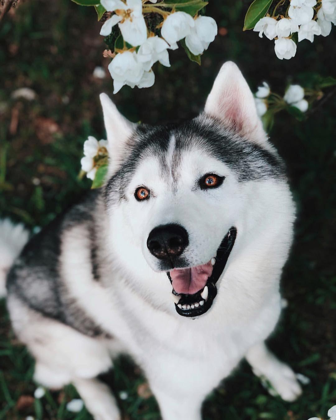 Cute Husky Dog Husky Dogs Siberian Siberian Husky Brown Eyes