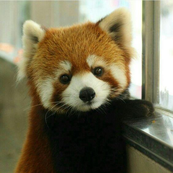 If a red panda LinkedIn profile…