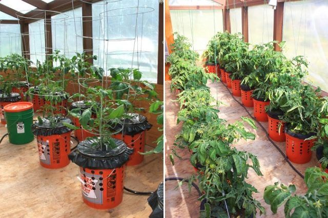How To Grow Tomato Plants In Buckets