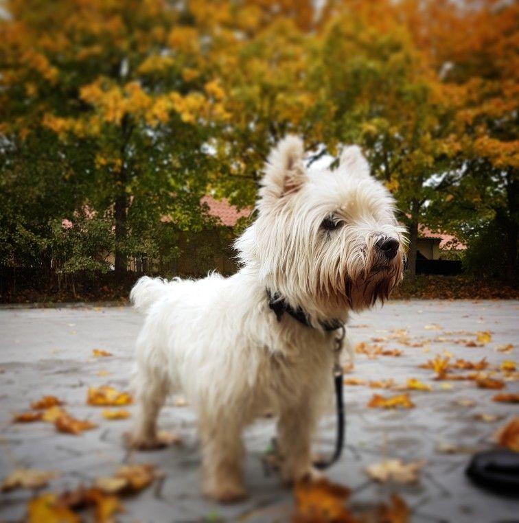 Autumn With My Westie Westies Dogs Animals