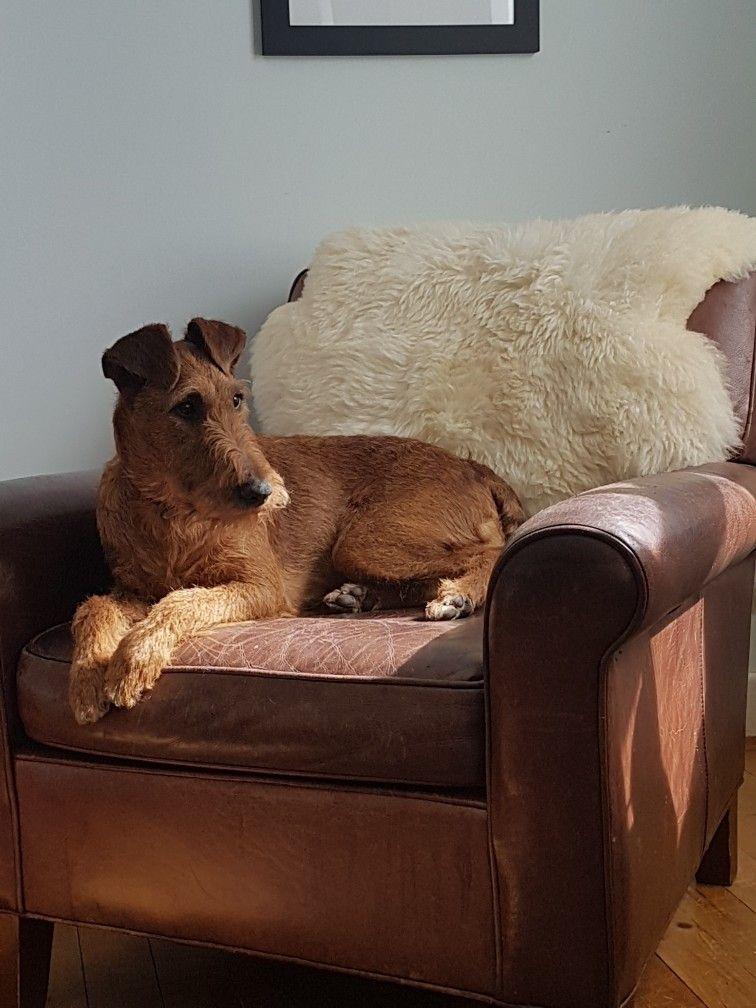 Sunny Sunday. Caoimhe the Irish Terrier Princess 14