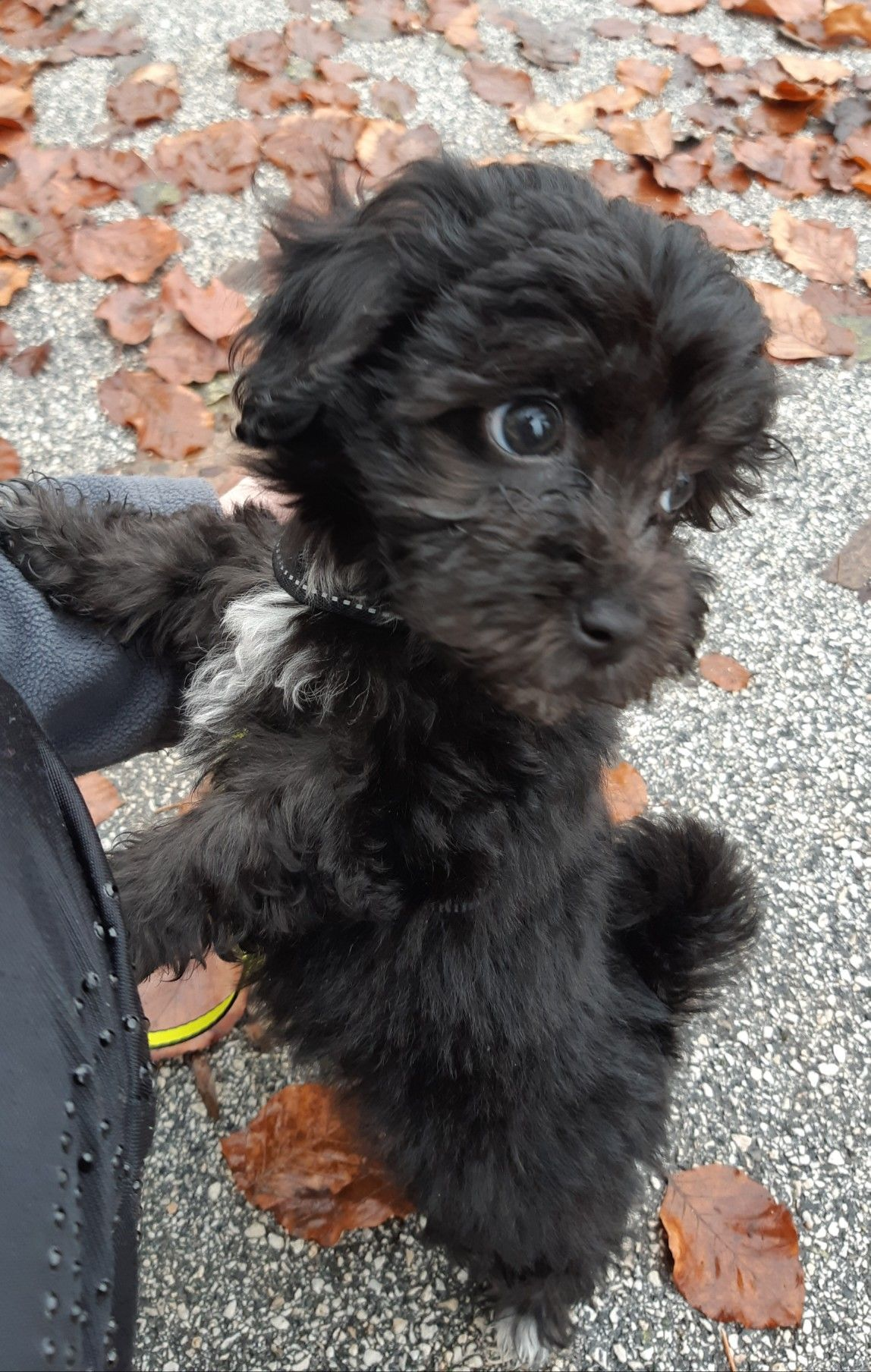 maltipoo puppy teacup dogs black tiny little