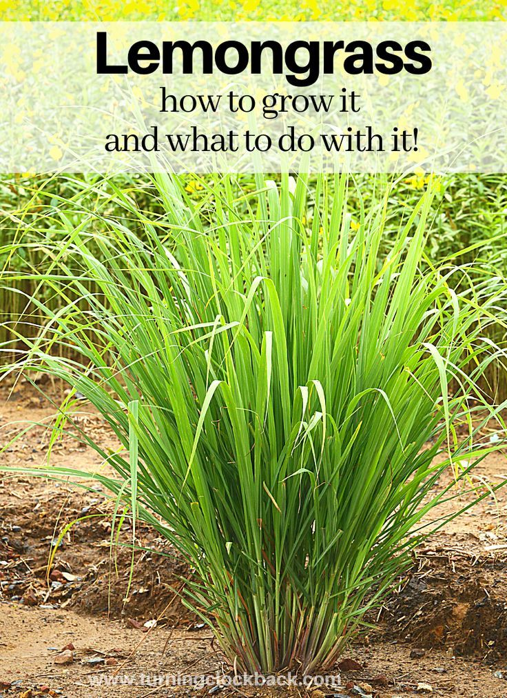 Lemongrass: How to grow it and what to do with it!