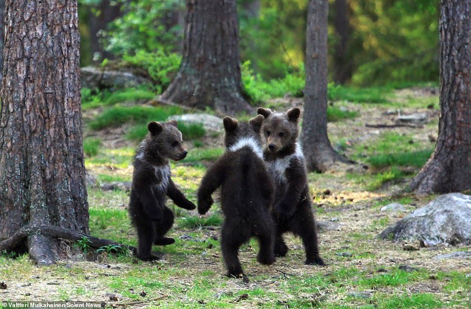 Playtime: A family of baby brown bears appeared to be dancing as their mother relaxed behi...