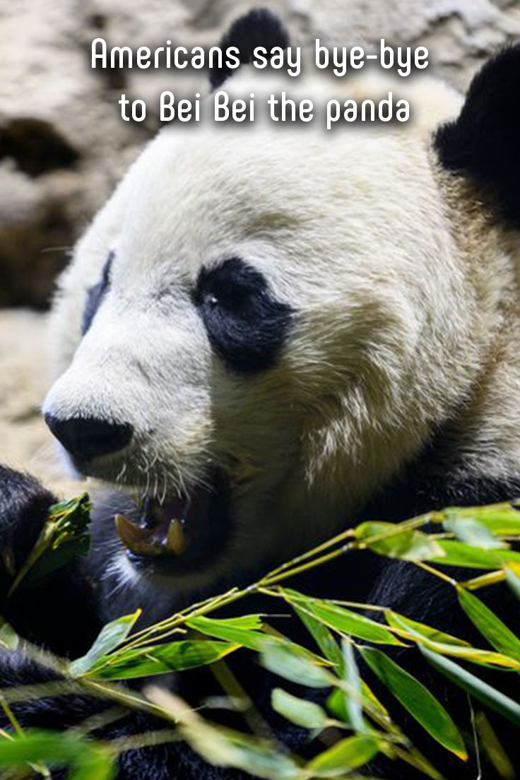 Goodbye, Bei Bei! The giant panda Americans watched grow over the past four years has left the Smithsonian National Zoo and Conservation Biology Institute in Washington, D.C., for China. #animals #panda #china #smithsonian #trips #conservation #endangeredspecies