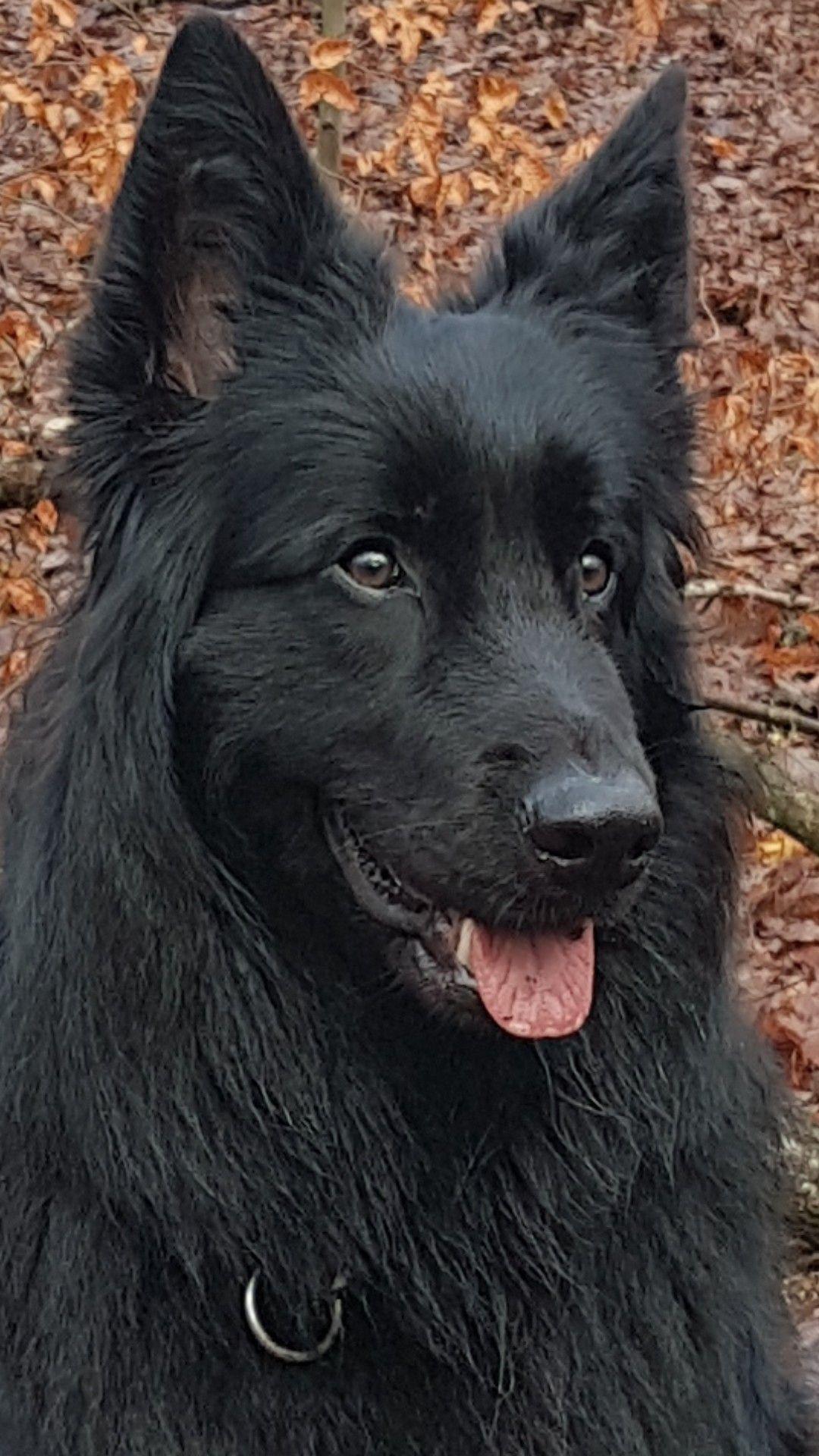 Langhaar Schaferhund Neo Schaferhunde Langhaar Schaferhund