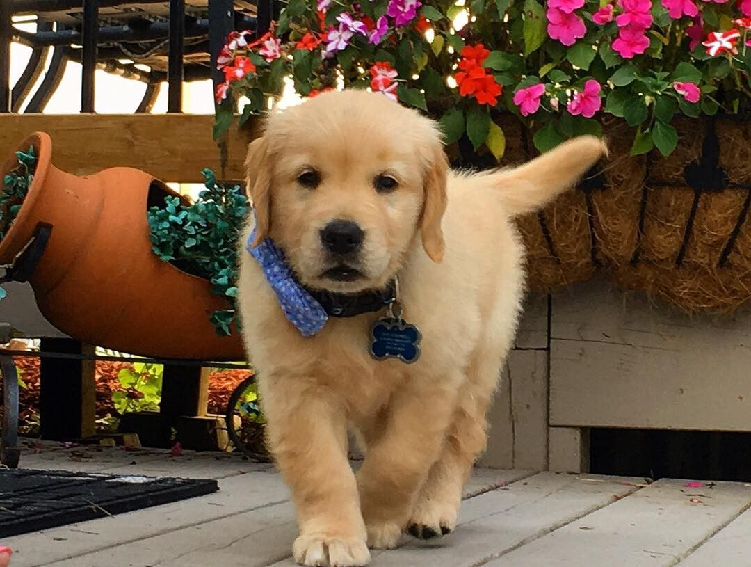 Our Boy 8 Weeks Old Golden Retriever Cute Baby Dogs