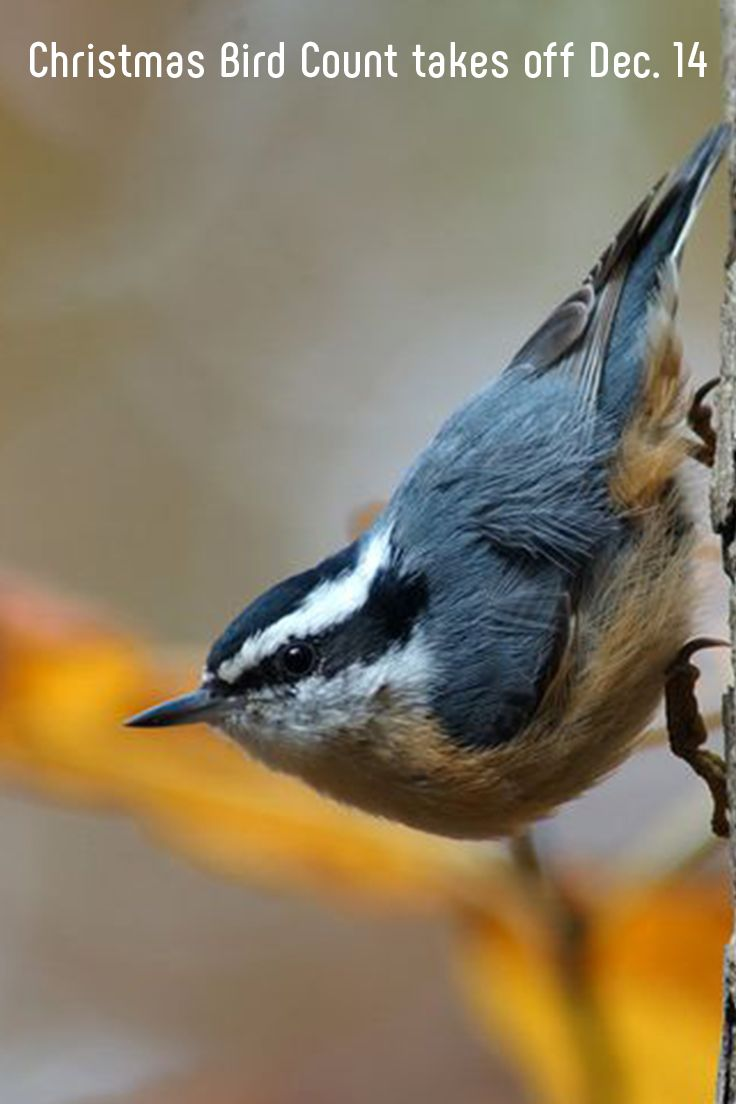The 120th annual Christmas Bird Count or CBC begins Dec. 14, and scientists are relying on more than 70,000 volunteers to help them gather data about birds across the Western Hemisphere. #birds #volunteers #animals #christmas