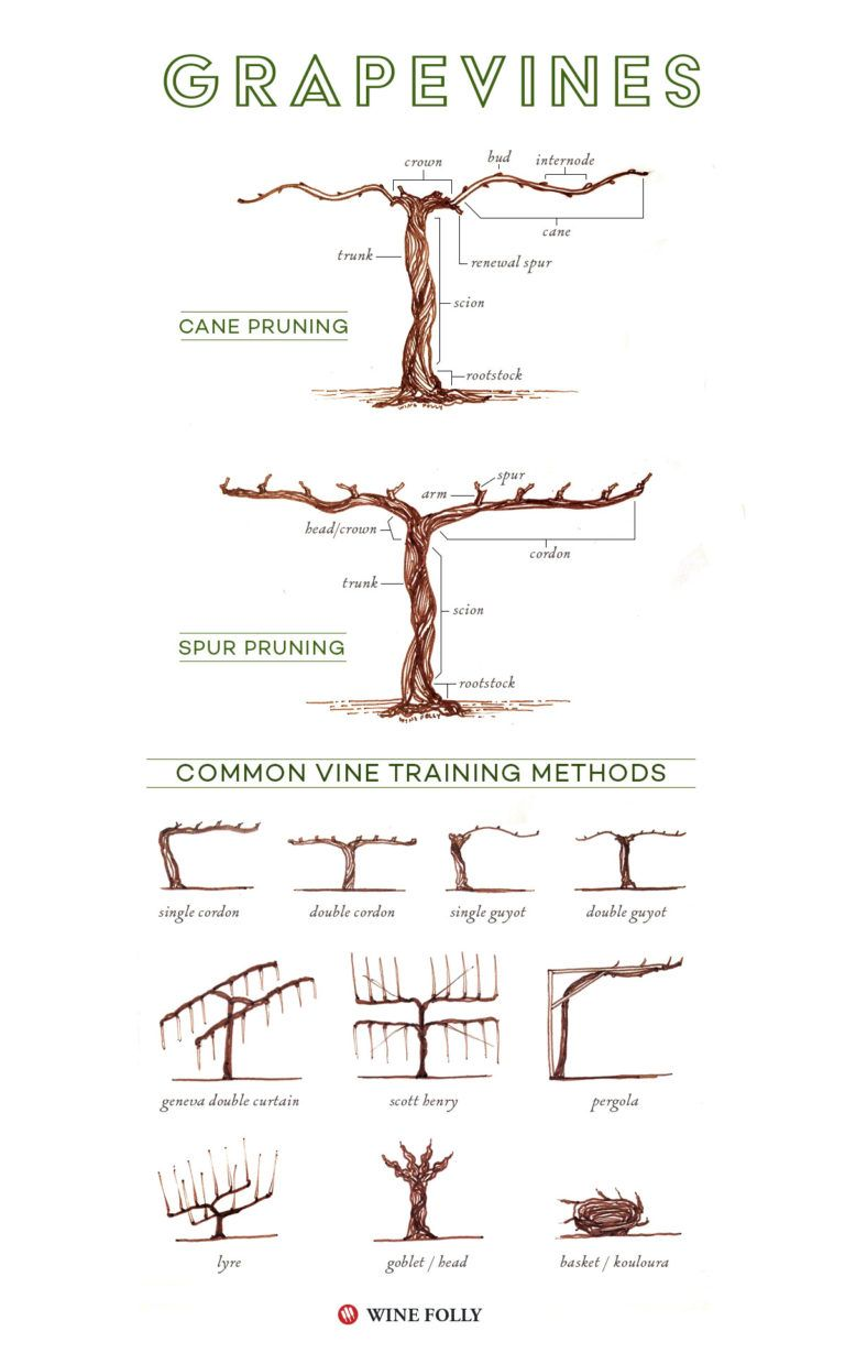 Parts of a grape vine, training and pruning methods