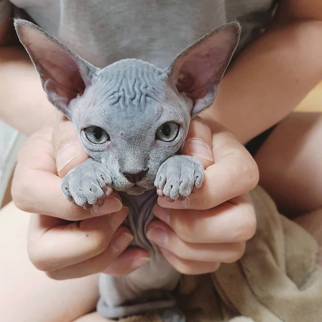 Cute Sphynx Kitty Sphynx Cat Hairless Kitten Sphynx
