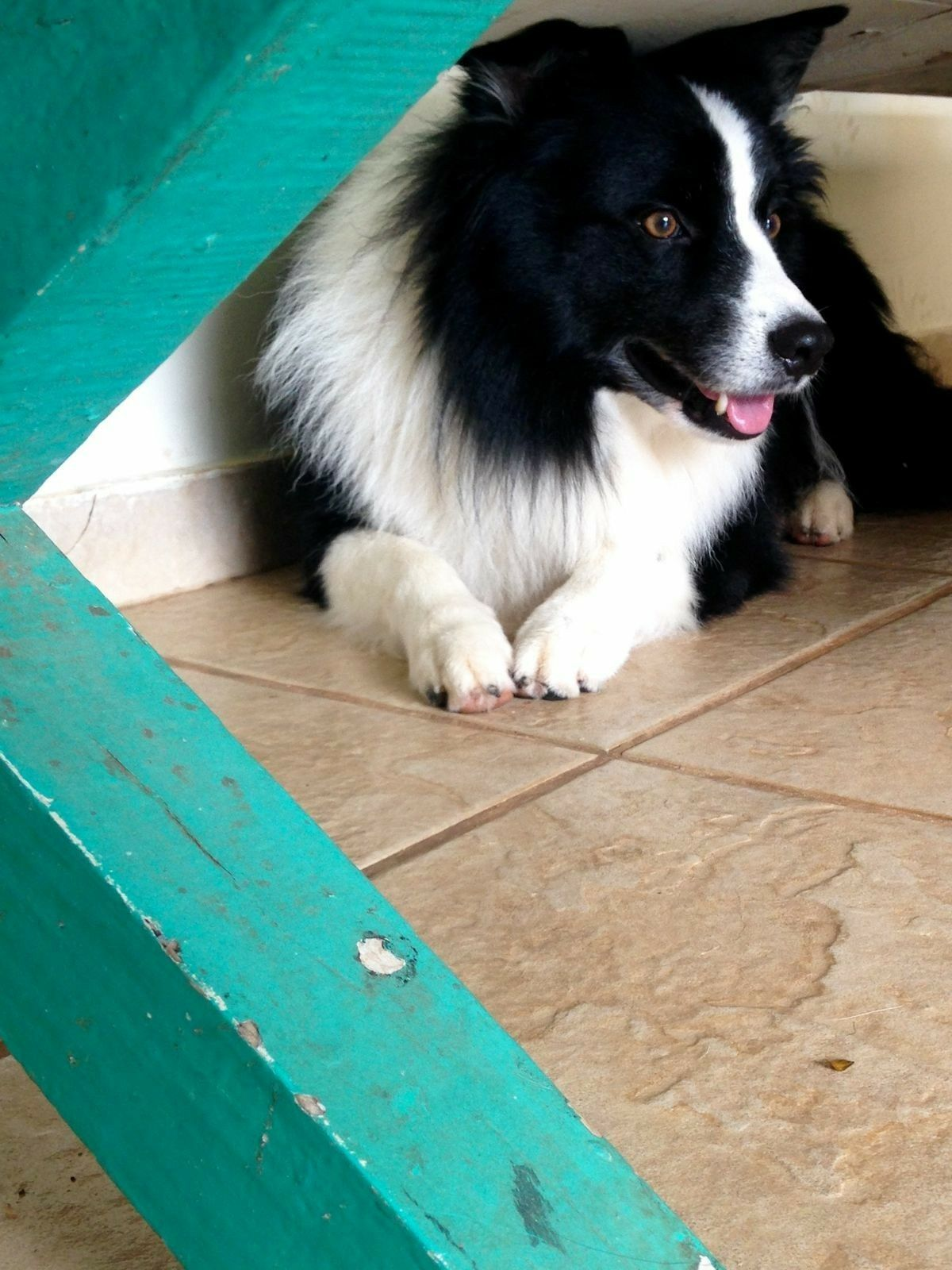 Border Collie Cute Dogs Breeds Border Collie Collie Puppies