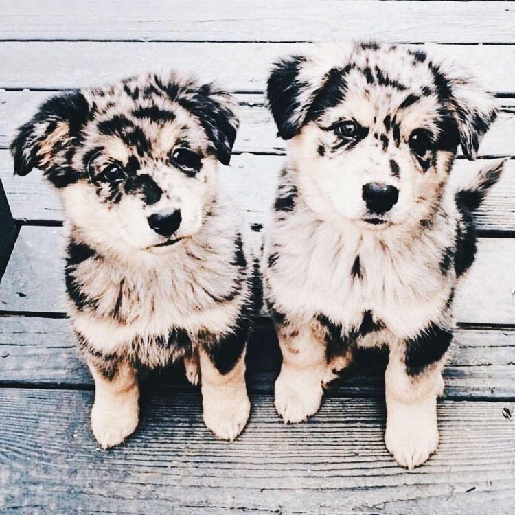 AUSTRALIAN SHEPHERD DOG Pack of THREE Novelty NINE DOLLAR BILLS Dog