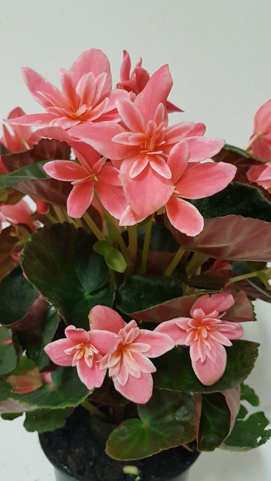 Begonia Elatior Ceveca Rose Begonias