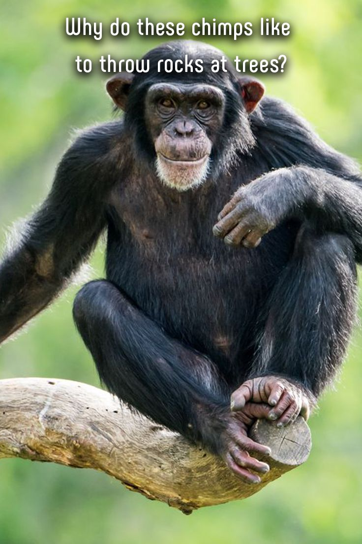 Researchers recently discovered some unusual behavior in chimps living in the forests of West Africa. An adult male in the wild would pick up a rock, throw it at a tree while yelling, and then run away. #chimps #monkey #monkees