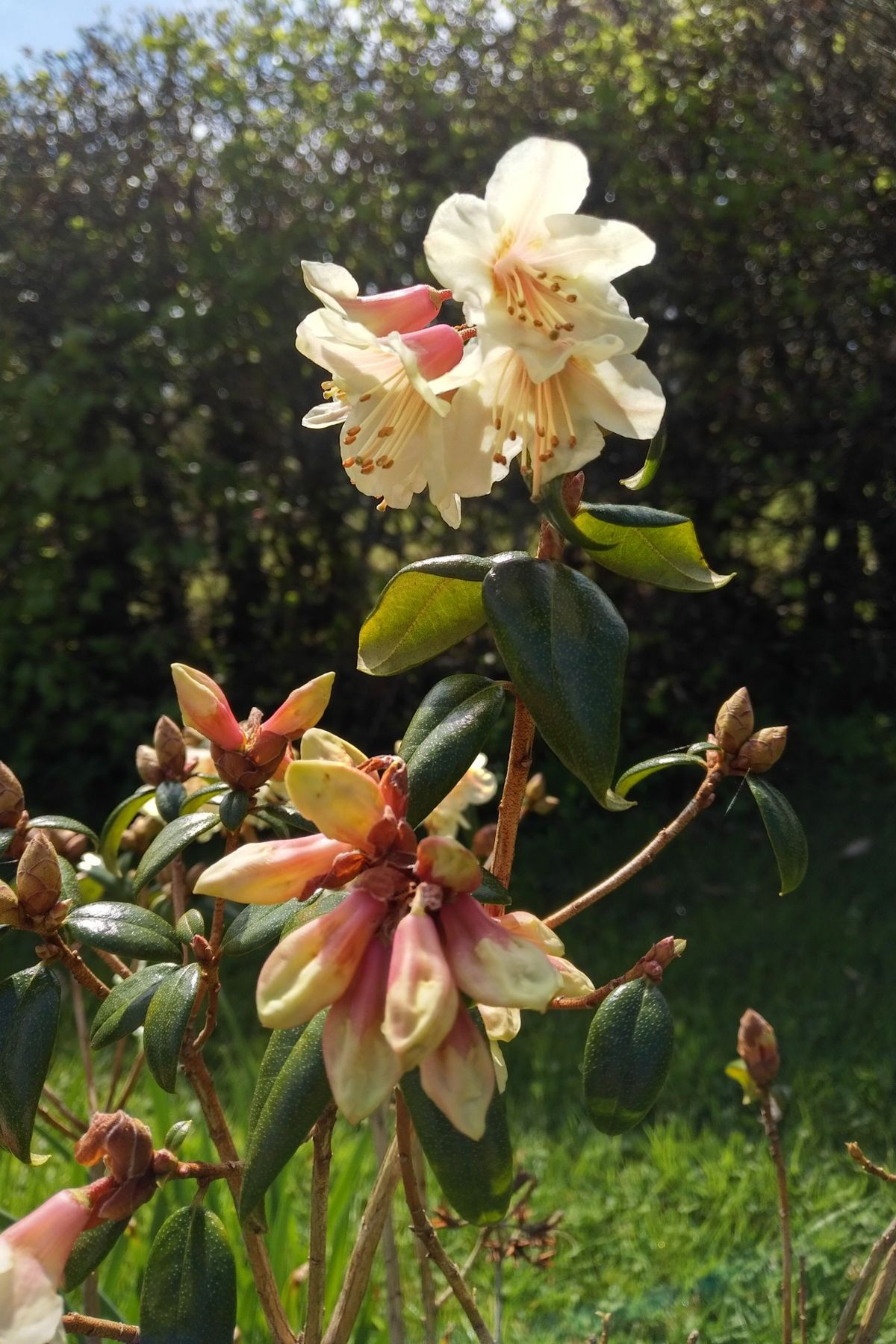 Rhododendron Barnaby Sunset, first time flowering at Barr