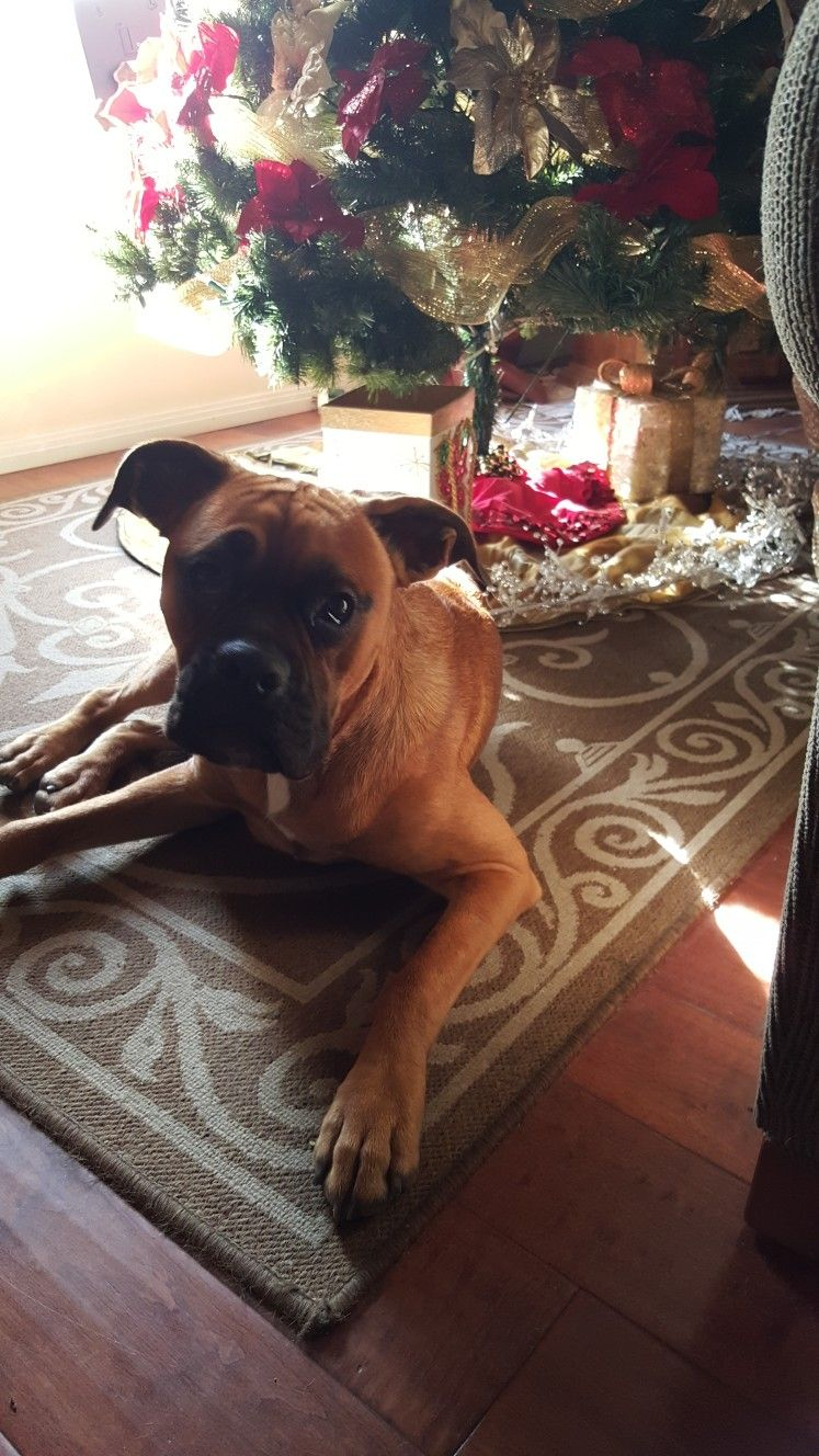 Boss under the christmas tree boxer puppies christmas