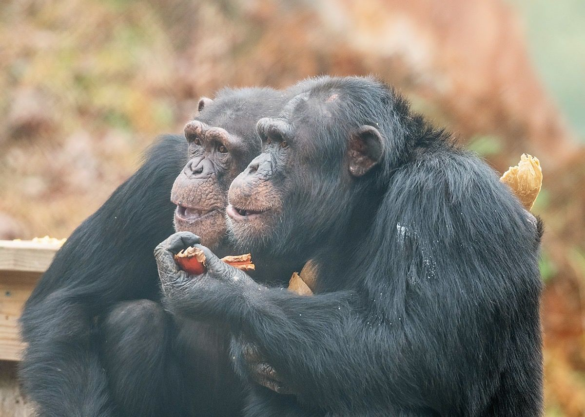 Project Chimps creates special meals for rescued chimps on Thanksgiving, and you can see how much they enjoyed it in this video.