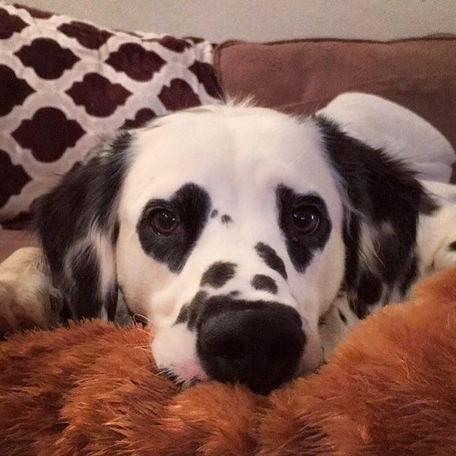 This dalmatian has heart-shaped spots on his eyes