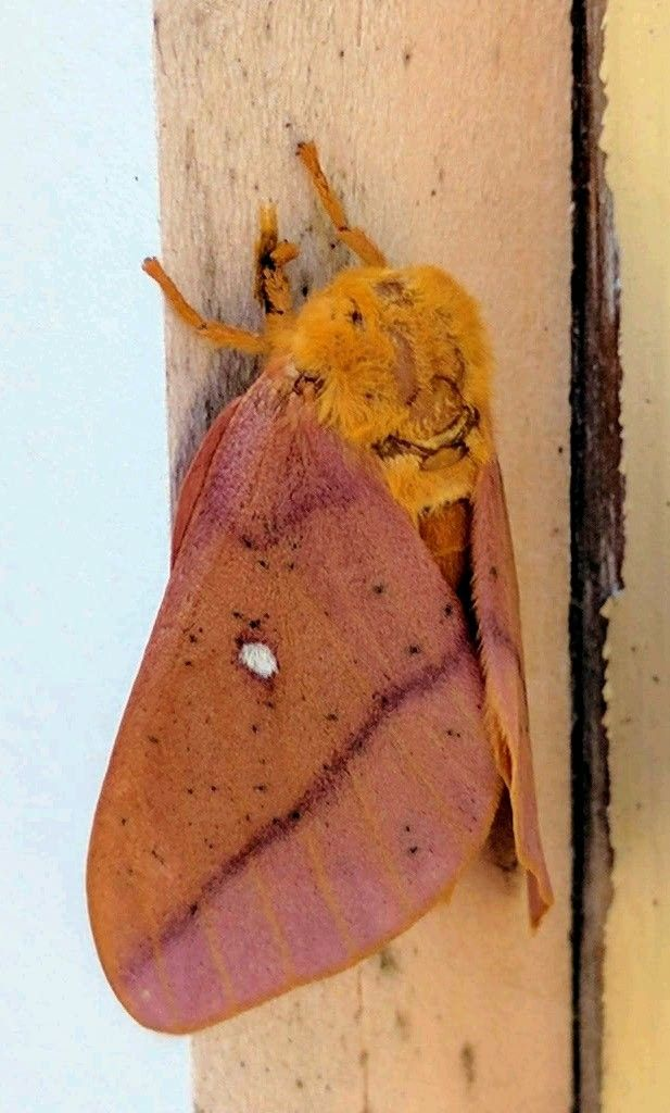 Insect – this is the beautiful Oakworm Moth. – by photographer Elizabeth Barr
