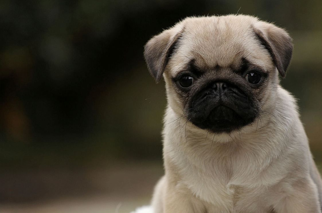 Pug Wallpaper, Screensaver, Background Cute Pug Puppy