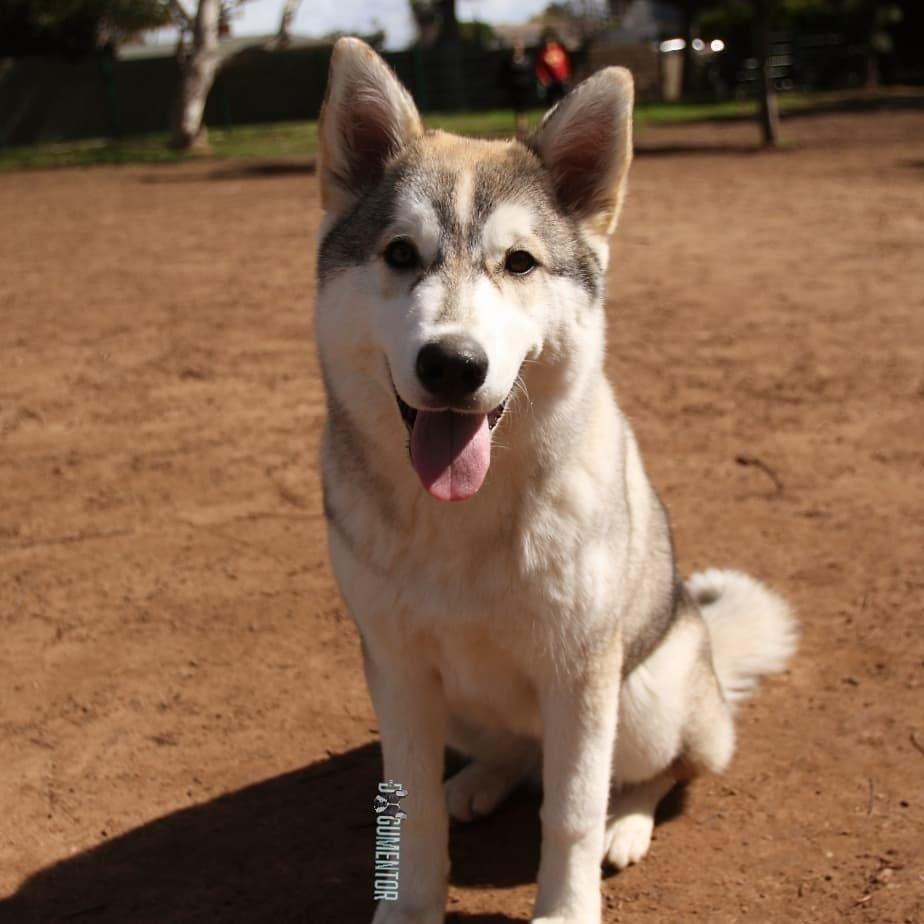 Akira Siberian Husky 5 M O Veteran S Park Akira In Alaskan