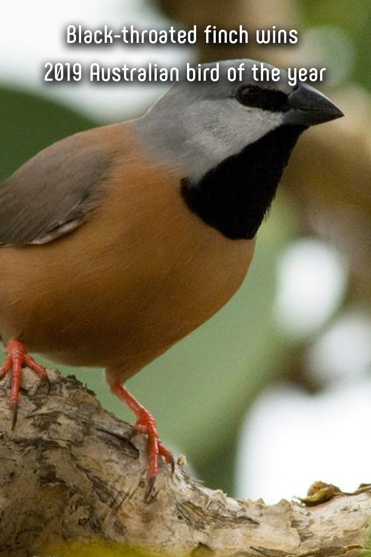 "The black-throated finch has been voted ""bird of the year"" in Australia for 2019, helping draw attention to the species' decline as human activities increasingly threaten its habitat. The finch's victory was reportedly driven by support from conservationists, who connected its plight to deforestation and bushfires in Australia, as well as opposition to a planned coal mine. #finch #bird #birds #blackthroatedfinch #australia #birdoftheyear #photography #animals #conservation"
