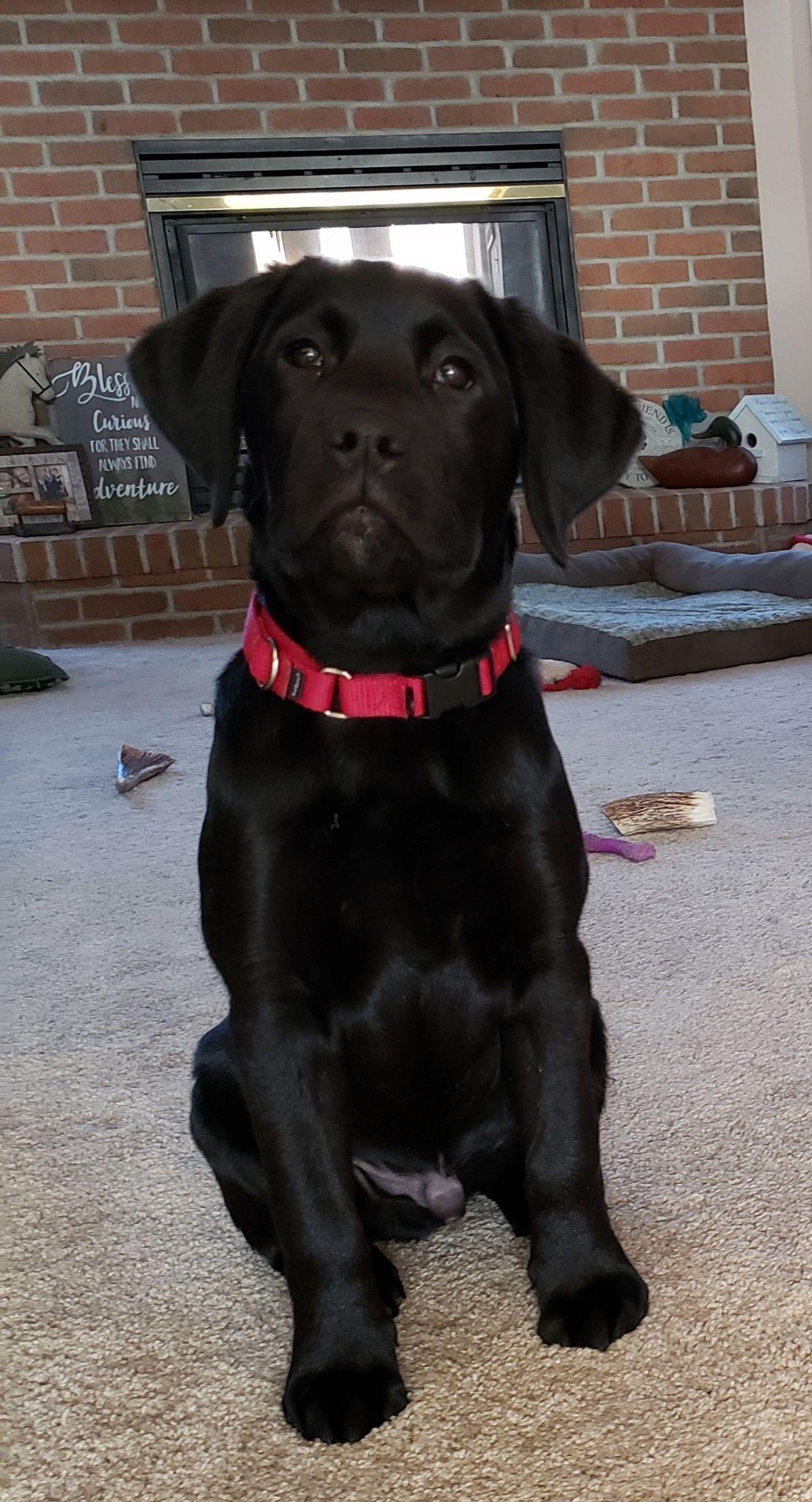 Brody 14 weeks old labrador retriever pets labrador