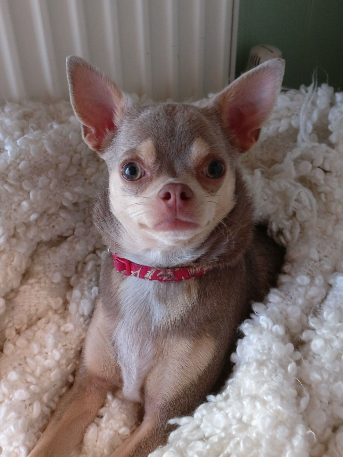 Daisy May Cute Dog Pictures Chihuahua Dogs Chihuahua Love