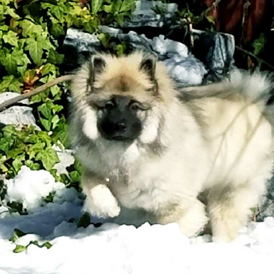 Marshmallow- 5 Months Old   Keeshond, Dogs, Puppies