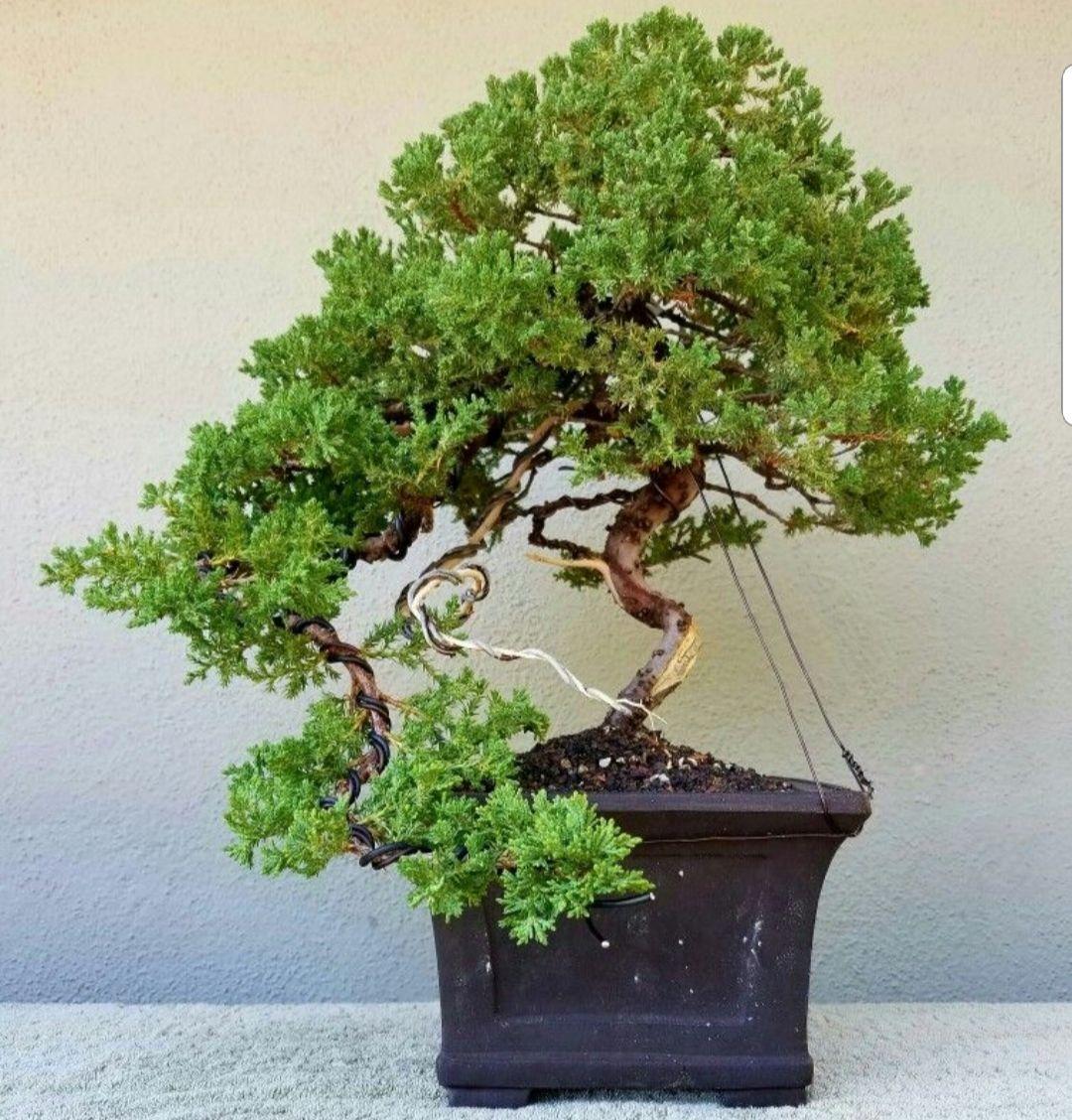 Picture 3 I Rewired My Cascading Juniper Pre Bonsai I Added Some Movement On The Cascading Branches Jin And Shari Were Creat Bonsai Tree Pre Bonsai Bonsai